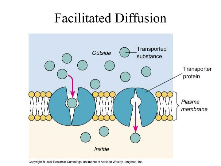 example of facilitated diffusion in cells