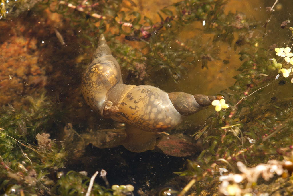 a pond snail is an example of