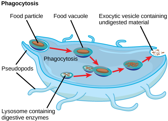 what is an example of pinocytosis